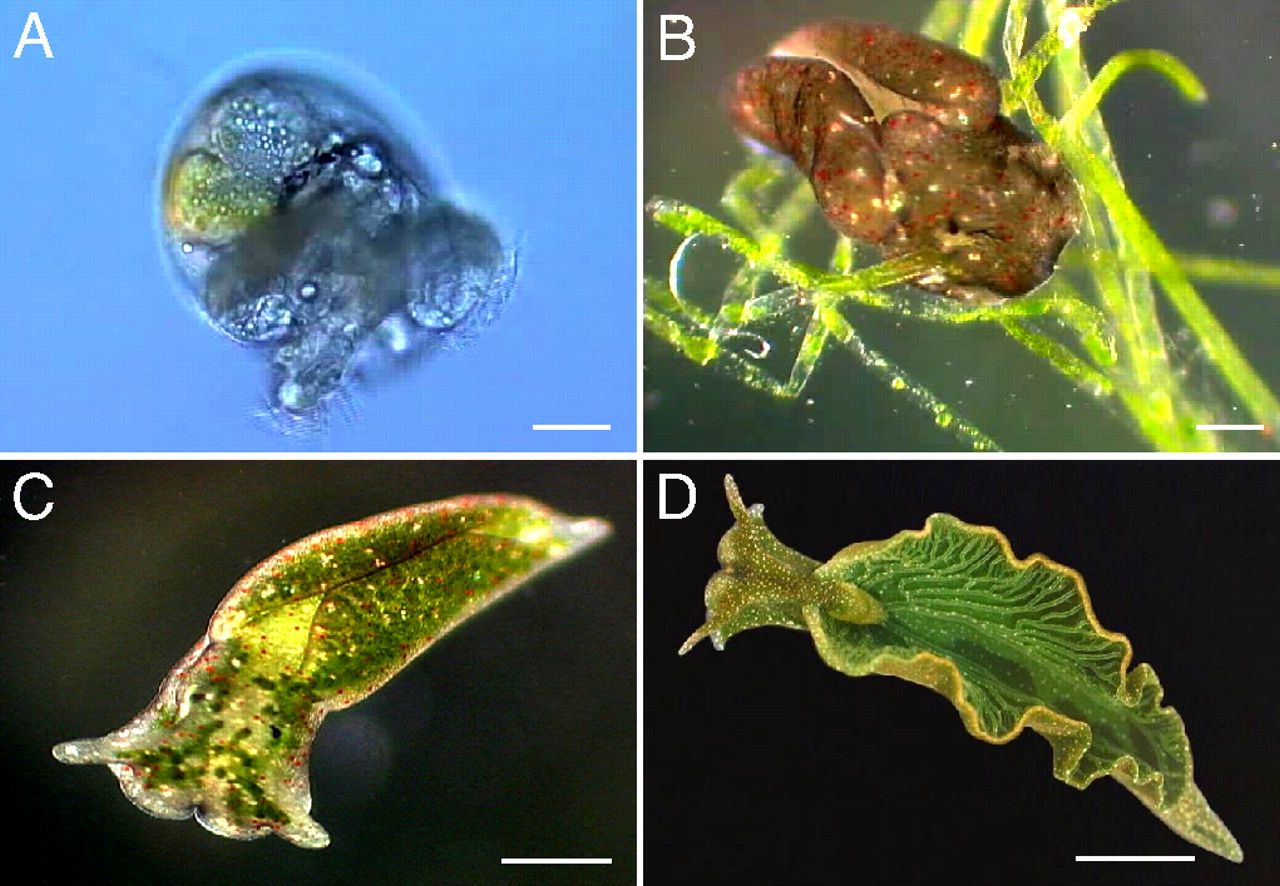 "Rumpho ME, Worful JM, Lee J, et al. (November 2008). ""Horizontal gene transfer of the algal nuclear gene psbO to the photosynthetic sea slug Elysia chlorotica"". Proc. Natl. Acad. Sci. U.S.A. 105 (46): 17867–17871."